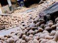 आलू की गिरती कीमतों से परेशान पंजाब के किसान