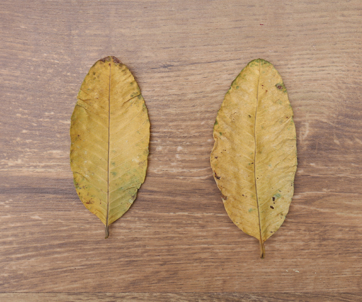 investigatory star apple leaves as paste Sugar apple seeds have a a paste of the seed powder has been applied to the head to kill lice but must be the leaves yield an excellent oil rich in.
